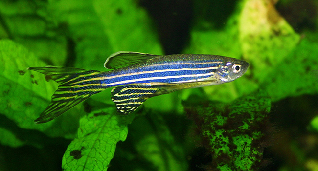 Nicotine withdrawal in zebrafish offers clues to human addiction