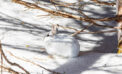 Less winter snow could spell disaster for snowshoe hares