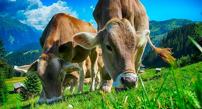 Innovative livestock grazing approach could reduce greenhouse gases